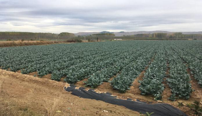 agricultura campo de coliflor 2 copia