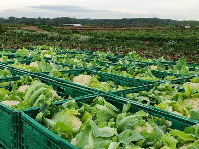reparto verduras, coliflor