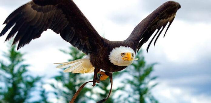 Águila calva Tierra Rapaz