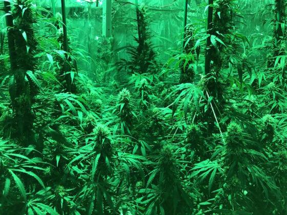 Cultivo indoor marihuana (5)
